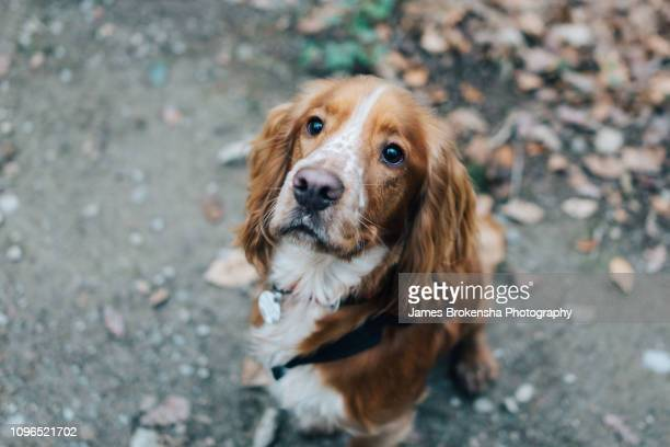 cocker spaniel sitting - cocker spaniel stock pictures, royalty-free photos & images