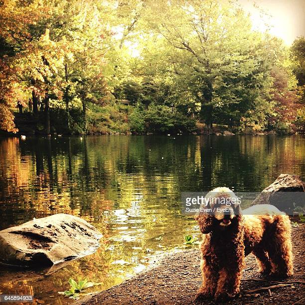 cocker spaniel standing by lake during autumn - spaniel stock pictures, royalty-free photos & images