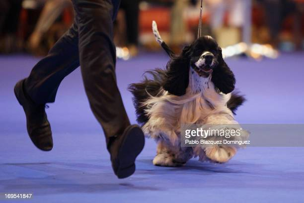 A cocker spaniel walks at the 'Spring International Dogs' exhibition in Ifema on May 26 2013 in Madrid Spain