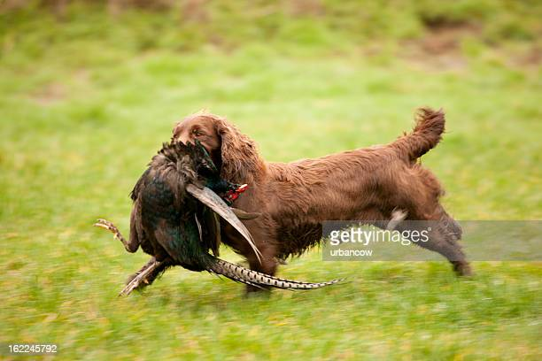 cocker spaniel with pheasant - cocker spaniel stock photos and pictures