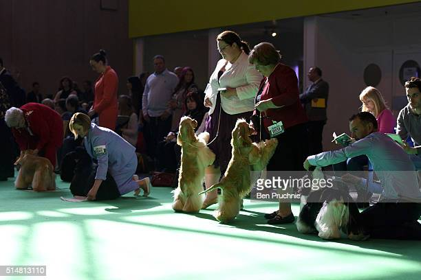 Cocker spaniels wait on the side of the ring before an event during the second day of Crufts Dog Show on March 11 2016 in Birmingham England First...