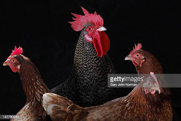 cockerel and hens - cockerel stock pictures, royalty-free photos & images