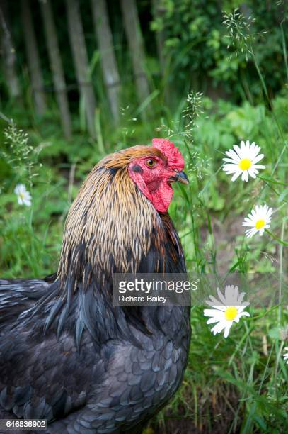 A cockerel in a meadow.