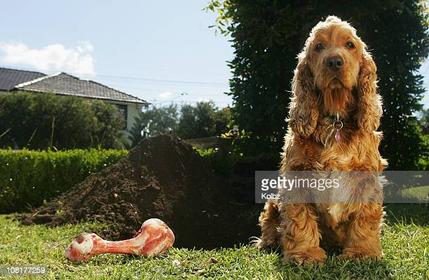 cockerspaniel and dog bone beside large dug hole - cocker spaniel stock photos and pictures