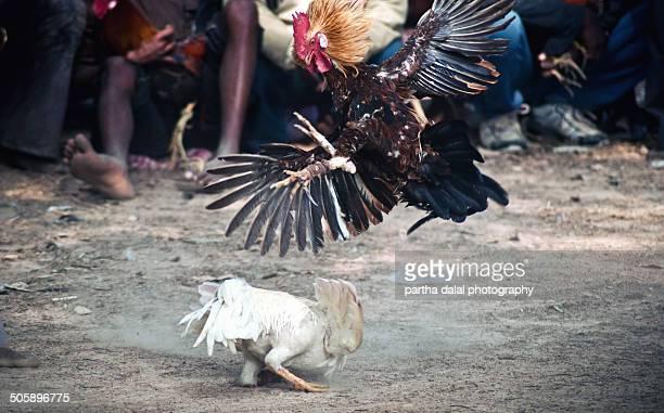 Cockf ighting at India