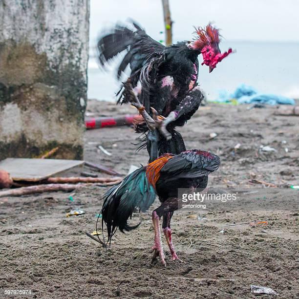 Cockfight in Bali,Indonesia