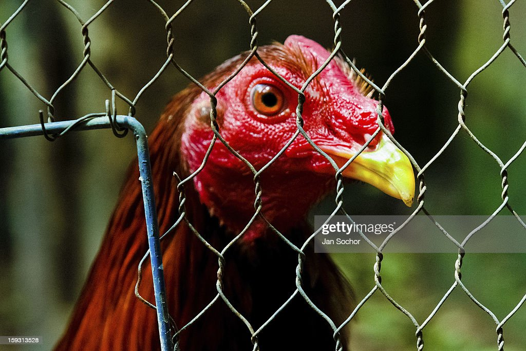 A cockfighting rooster looks on in a cage in the breeding station in Cucuta, Colombia on May 01, 2006. Cockfight is a widely popular and legal sporting event in much of Latin America. The fight is usually held in an arena (gallera in spanish) with seats for spectators. There is always gambling involved in cockfights. People take advantage of cock's natural, strong will to fight against all males of the same species. Birds are specially bred to increase their aggression and stamina, they are given the best of food and care. The cocks are equipped with tortoise-shell made gaffs tied to the bird's leg. The fight is not intentionally to the death but it may result in the death of cocks very often.