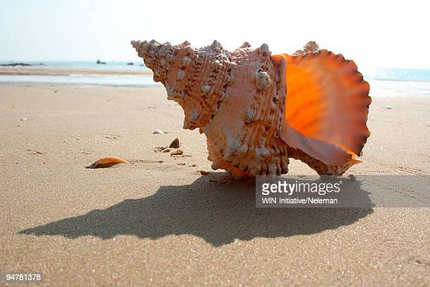 cockleshell on the beach, vietnam - conch shell stock pictures, royalty-free photos & images