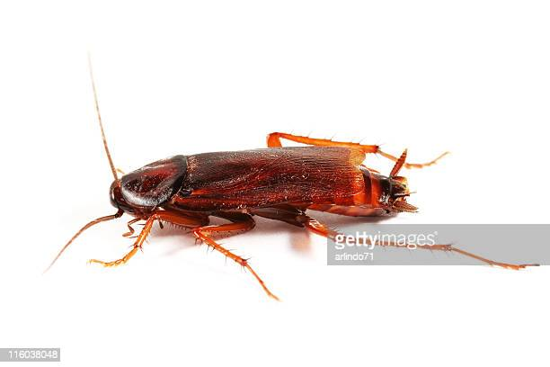 cockroach 01 - cockroach stock photos and pictures