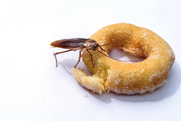 Cockroach Eat Donuts On A White Background.