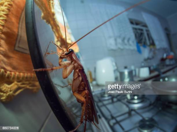 Cockroach in the kitchen (Periplaneta americana)