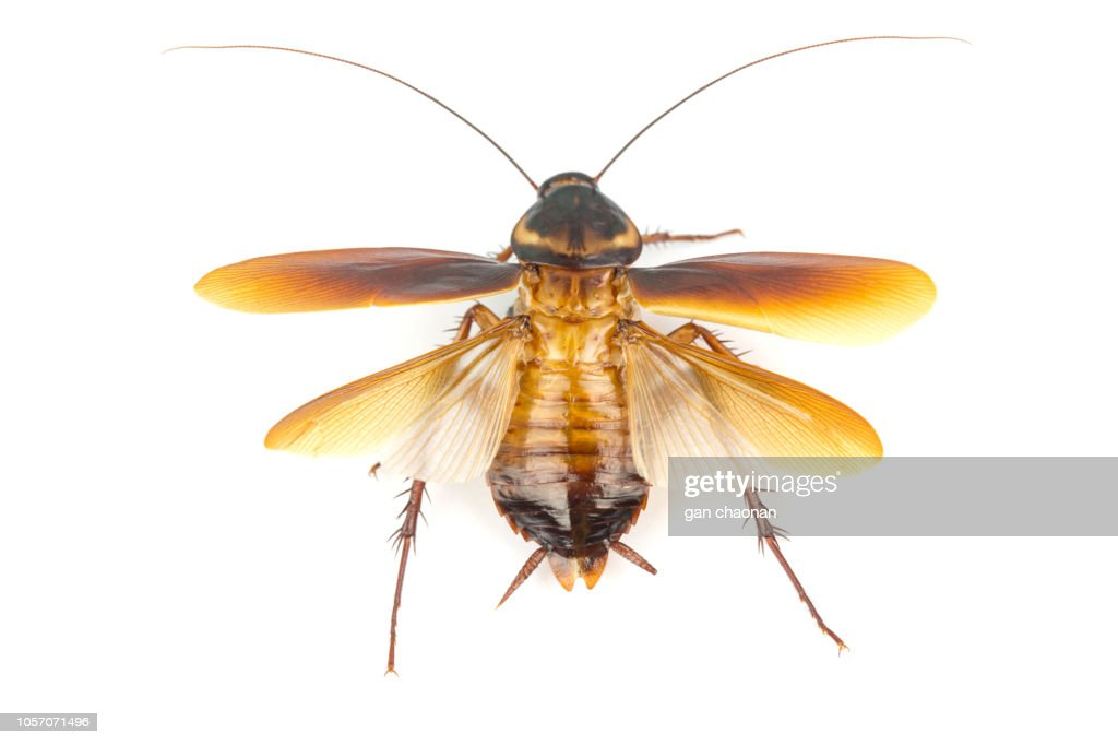 Cockroach isolated on white background. Cockroaches are flying insects and cockroaches are also carriers of human pathogens. : Stock Photo