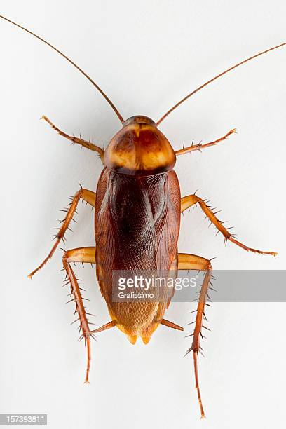 cockroach on white background - cockroach stock photos and pictures