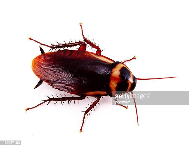 A cockroach over a white background