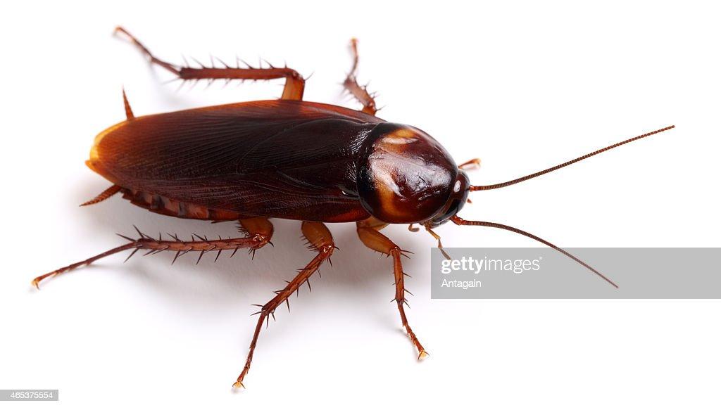 Cockroach : Stock Photo