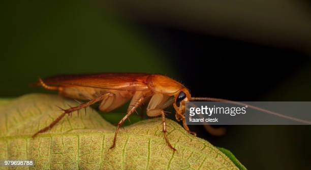 cockroach - cockroach stock photos and pictures