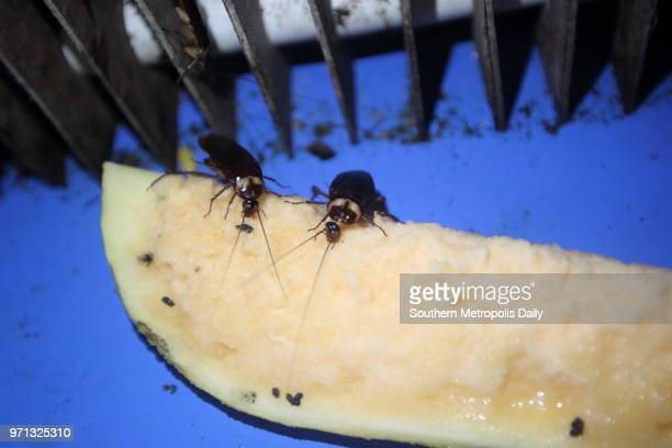 Cockroaches eat a piece of cantaloupe at Jiang Meixia's home on June 11 2014 in Jiangmen Guangdong Province of China 37yearold Jiang Meijia started...