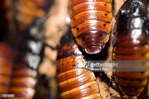 cockroaches - cockroach stock photos and pictures