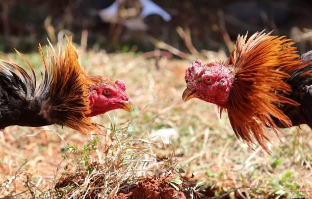 Fotos und Bilder von Bird Fight Competition In Kunming | Getty Images
