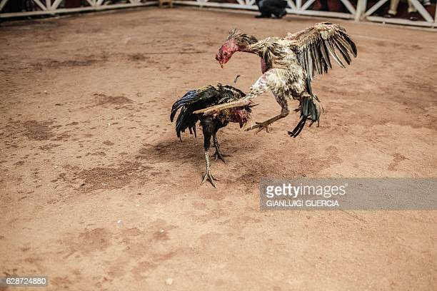 Cocks fight during a Cock fighting tournament on December 3, 2016 on the outskirts on Antananarivo, Madagascar. Cockfighting is held during the week...