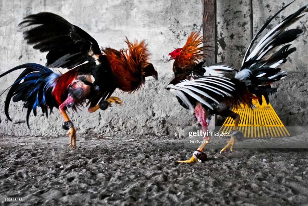 Feathers Fly and Blood Flows in the Popular Sport of Cockfighting