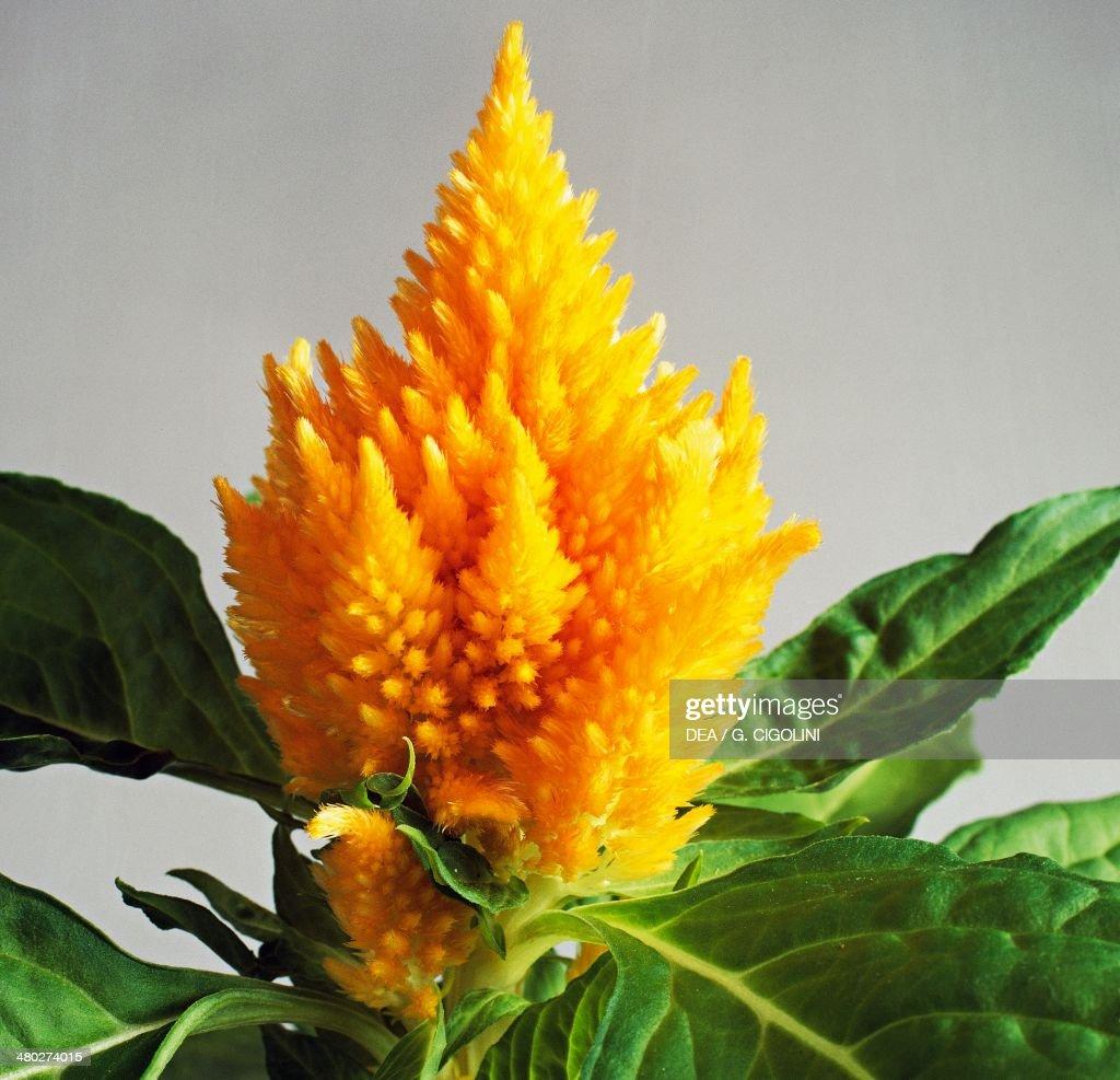Cockscomb, Amarantaceae : News Photo