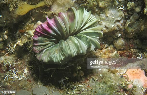 Cockscomb cup coral Desmophyllum dianthus on a cave wall at 18 meters Deep Glen Bay Tasmania Australia