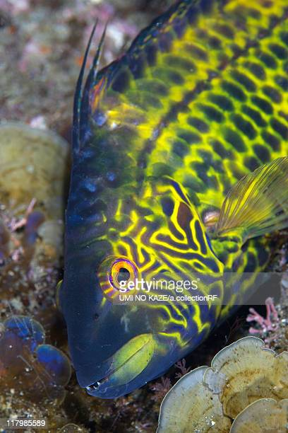 Cocktail Wrasse