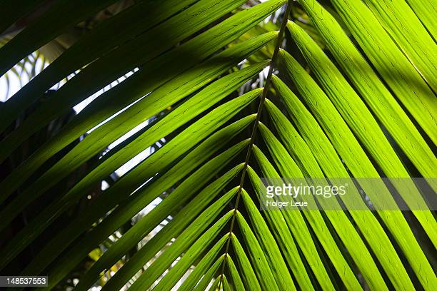 coco de mer palm tree fronds. - coco de mer stock pictures, royalty-free photos & images