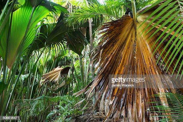 coco de mer palms and thief palms - coco de mer stock pictures, royalty-free photos & images