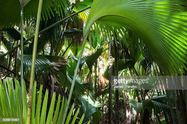 coco de mer palms - coco de mer stock pictures, royalty-free photos & images