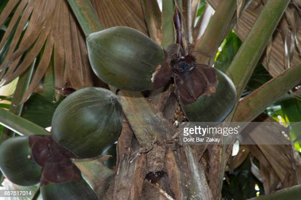 Coco De Mer (Lodoicea maldivica) that  is endemic to the islands of Praslin and Curieuse in the Seychelles