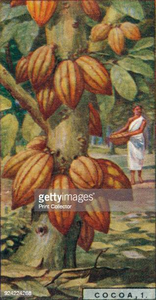 'Cocoa 1 Cacao Tree Trinidad' 1928 From Player's Cigarettes Products of the World A Series of 50 [John Player Sons London 1928] Artist Unknown
