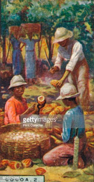 'Cocoa 2 Opening the Pods Trinidad' 1928 From Player's Cigarettes Products of the World A Series of 50 [John Player Sons London 1928] Artist Unknown