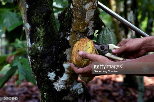 cocoa bean harvest - chocolate factory stock pictures, royalty-free photos & images