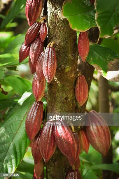 Cocoa Bean in Fruit on Tree Cocoa Farm in Kauai