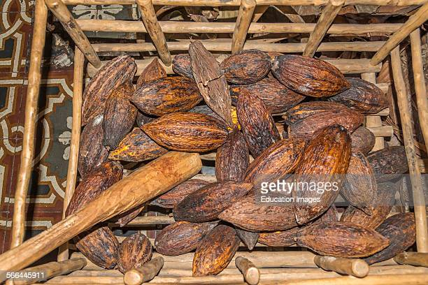 Cocoa bean pods at the Choco Museo or Chocolate Museum in Antigua Guatemala The scientific name for the cocoa tree is Theobroma cacao