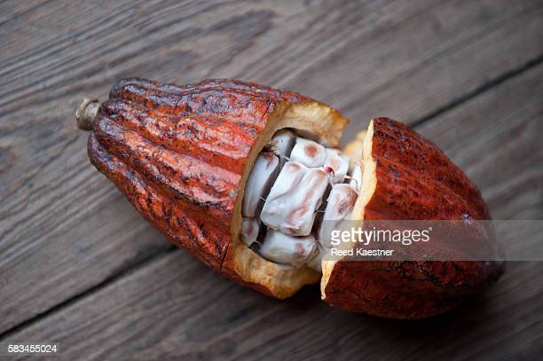 Cocoa bean, seed of Theobroma cacao. The seed pod of the cocoa tree broken open showing the seeds inside.