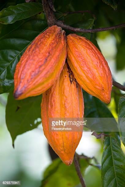 Cocoa bean theobroma cacao