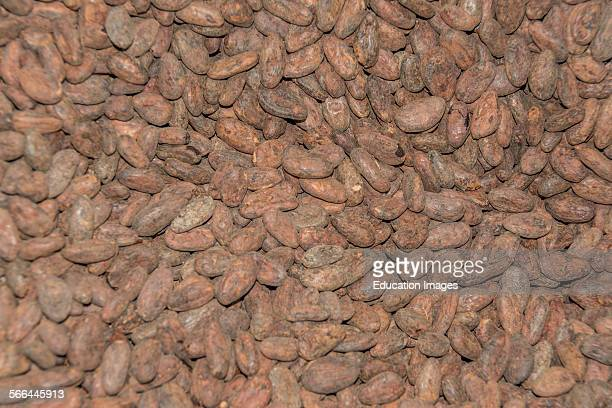 Cocoa beans at the Choco Museo or Chocolate Museum in Antigua Guatemala