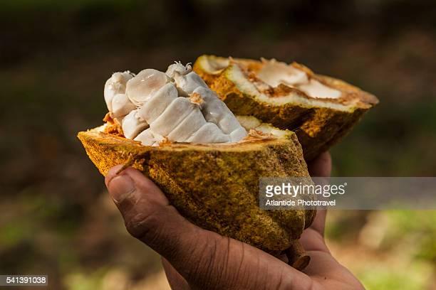 Cocoa beans in a cocoa pod along the Toa river north of Baracoa