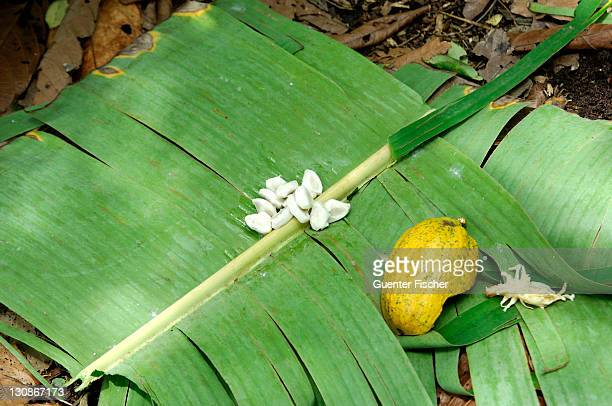 Cocoa beans (Theobroma cacao) in white pulp, left to ferment on banana leaves next to the husk of a ripe cocoa fruit, Ghana, West Africa