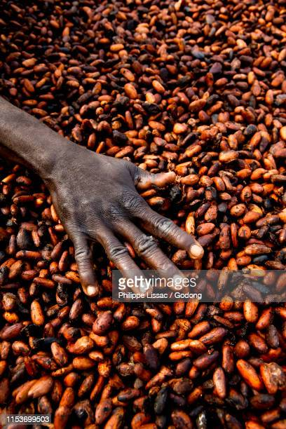 cocoa drying near agboville, ivory coast. - côte d'ivoire stock pictures, royalty-free photos & images