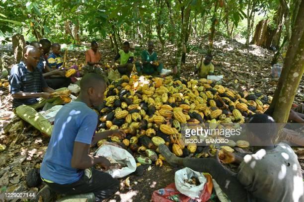 Cocoa farmers break cocoa pods in a plantation near Guiglo, western Ivory Coast, on October 10, 2020. - Last week President of Ivory Coast Alassane...