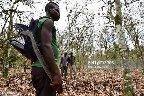 Cocoa farmers walk in a cocoa plantation damaged by a caterpillar in Tiassale in the southeastern part of Ivory Coast where insects eat vegetation...