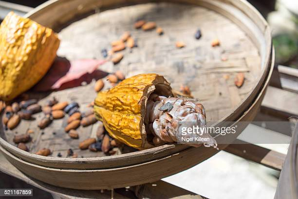 cocoa fruit and cocoa beans drying - theobroma imagens e fotografias de stock