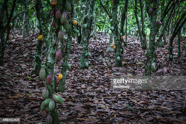 Cocoa fruit hang from trees before harvesting on a cocoa plantation in Agboville Ivory Coast on Tuesday Sept 1 2015 Ivory Coast will produce about 17...