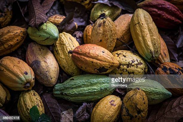 Cocoa fruit sit on the ground during harvesting on a cocoa plantation in Agboville Ivory Coast on Tuesday Sept 1 2015 Ivory Coast will produce about...