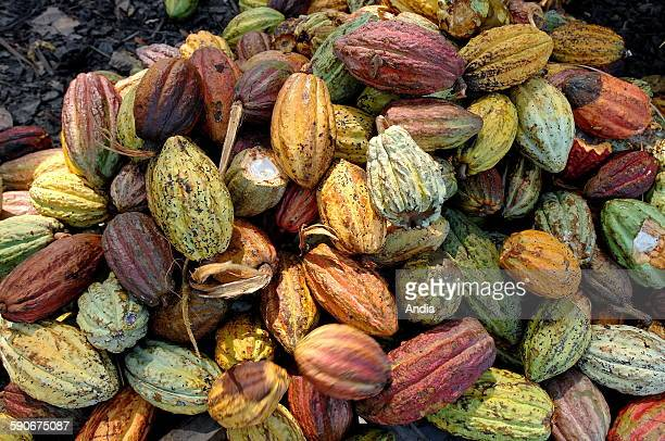 Cocoa harvest on the Millot plantation in the North West of Madagascar facing Nosy Be one of the island's oldest and most famous plantations Cocoa...