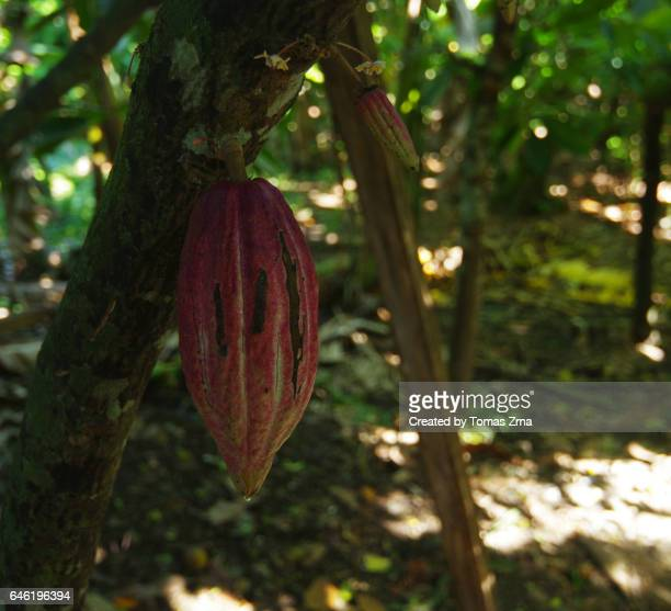cocoa of baracoa - cacao tree stock photos and pictures